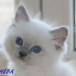sheba-052015